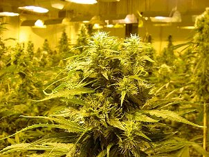 Boulder, Denver, CO. Marijuana Growers Insurance